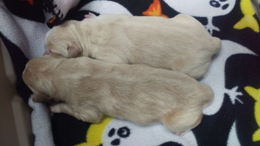 Litter Of 2 Goberian Puppies For Sale In Southaven Ms Adn 22402