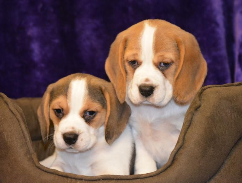 Chunky Beagle Puppies Pedigree Puppies For Sale Beagle Puppy