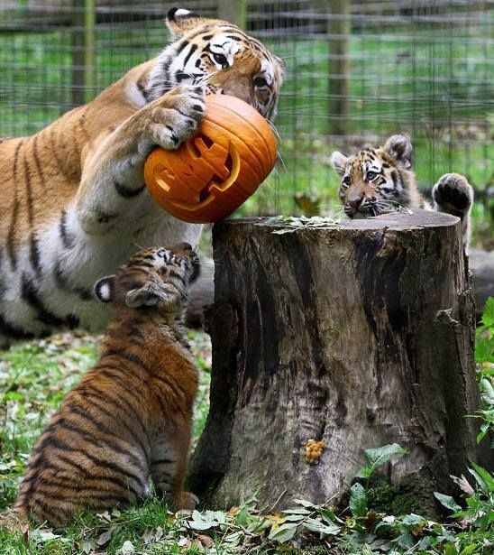 Tigers playing with jack o lantern / pumpkin