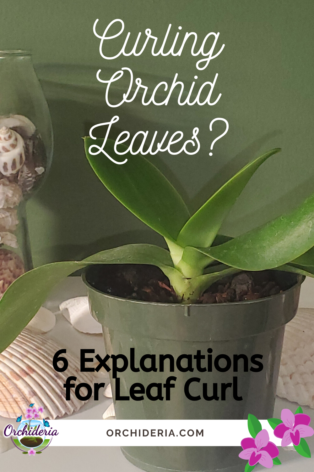 Why Do Orchid Leaves Curl And Twist 6 Reasons Remedies Orchideria In 2020 Orchid Leaves Orchids Plant Pot Decoration