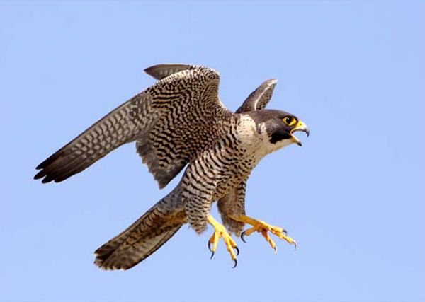 4 Types Of Falcons Species With Pictures Peregrine Falcon