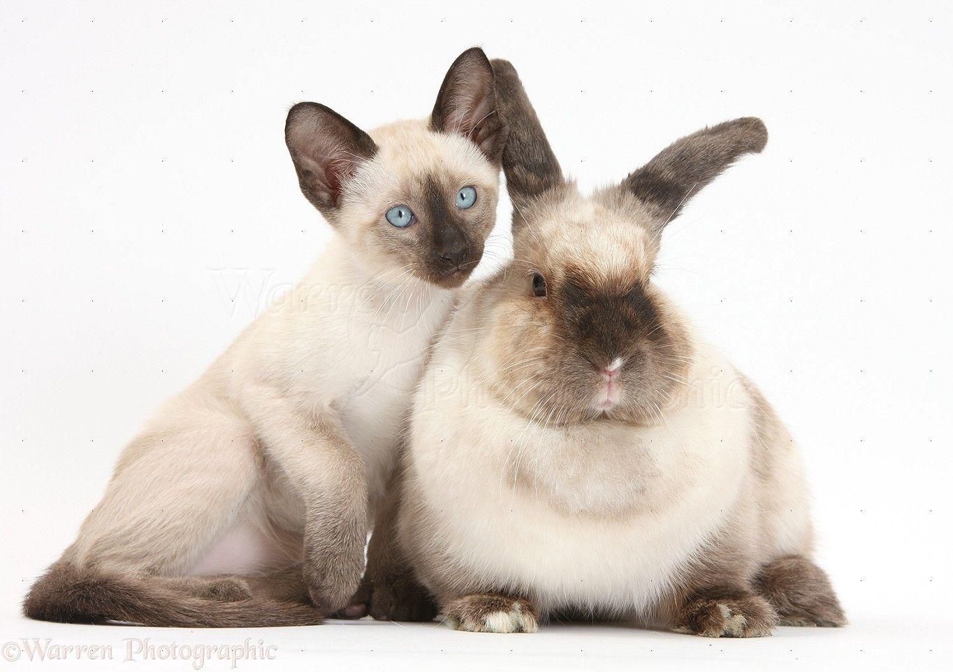 Pets Colourpoint Rabbit And Siamese Kitten 10 Weeks Old Photo Siamese Kittens Kitten Art Pets
