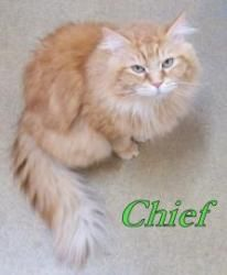 Adopt Chief On Petfinder Tabby Cat Orange Tabby Cats Cats