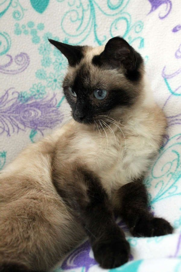 Siamese Cat Rescue Center Siamese Available Siamese Cats Balinese Cat Cats
