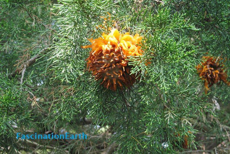 "A ""Tree Anemone"" ? #NaturePhotography #plantss #trees #seedpod #unidentifiedobject"