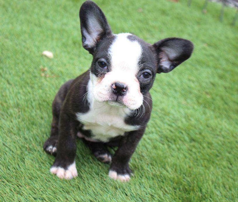 Fallon in 2020 puppy adoption puppies