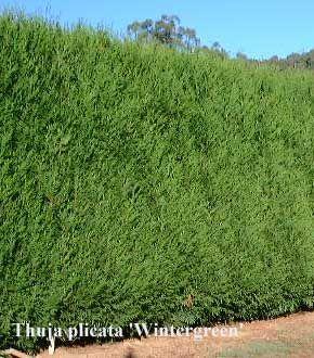Extraordinary Quick Growing Plants For Screening Pictures - Best ...