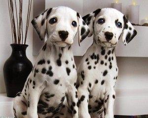 Dalmatian Puppies For Sale In Kerala Anjing Ikan
