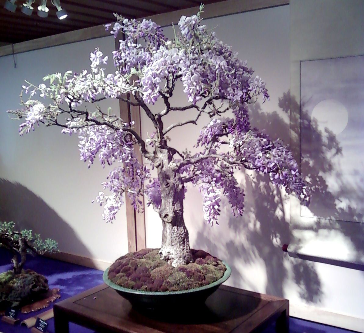 Wordpress Com Wisteria Bonsai Bonsai Garden Indoor Bonsai Tree