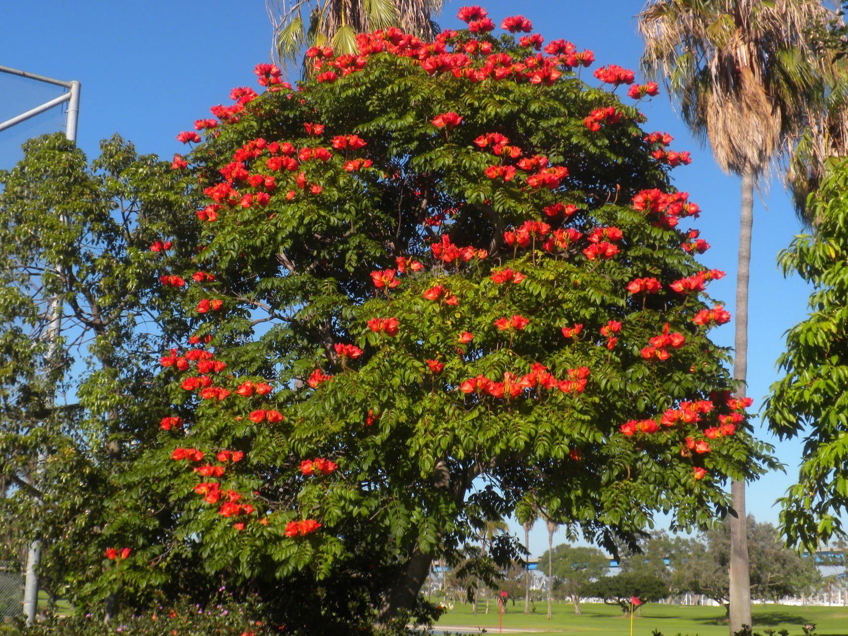тюльпановое дерево фото в абхазии упорно над