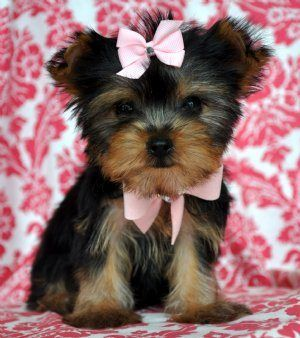 Dogs For Yorkies Yorkie Puppy