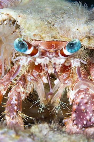 Blue Eye Hermit Crab Life Under The Sea Ocean