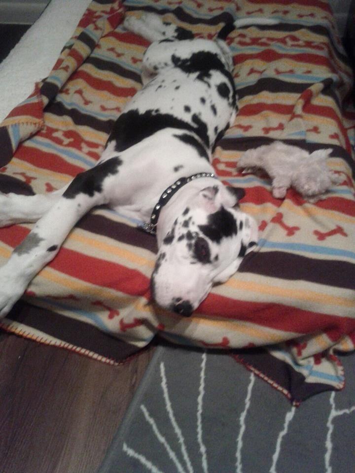 Breed Harlequin Male Euro Great Dane Age Puppy Name Manhattan