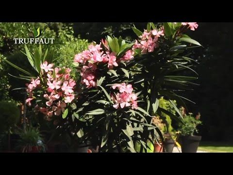 tailler le laurier-rose - youtube   jardinage taille   pinterest
