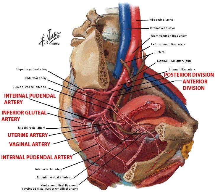 Internal Pudendal Artery Google Search Lowerlimb Anatomy Pinterest