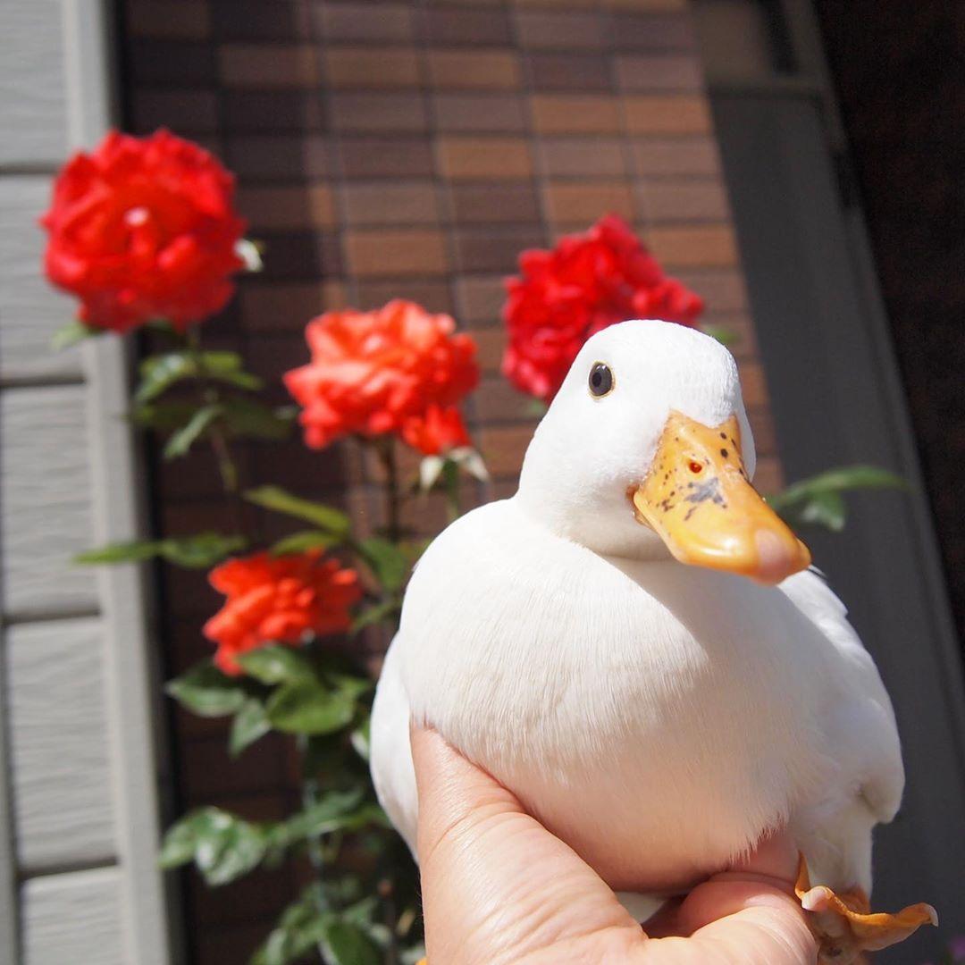 Haru On Instagram 薔薇が咲いた 薔薇が咲いた でも 薔薇ってすぐに虫が付く 薔薇園の人ってどうやって対策してるんだ 何か知恵ない ミタゾノさん 笑 アヒル コールダック Cute Ducklings Cute Animals Cute Little Animals