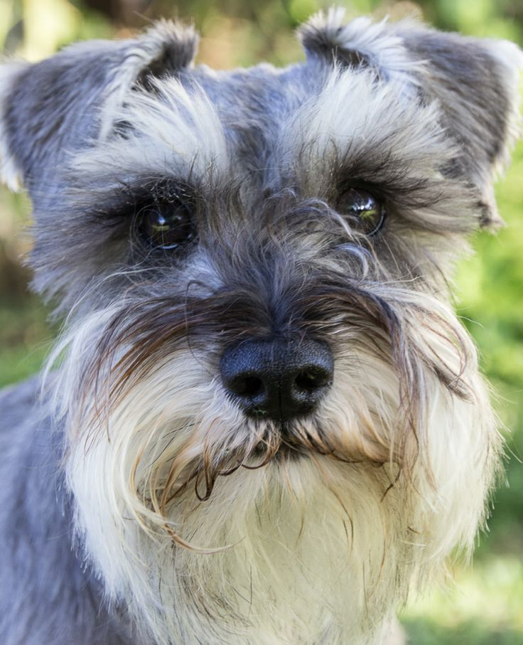 Tallie- Gorgeous Miniature Schnauzer! | Fur Children & Friends | P…