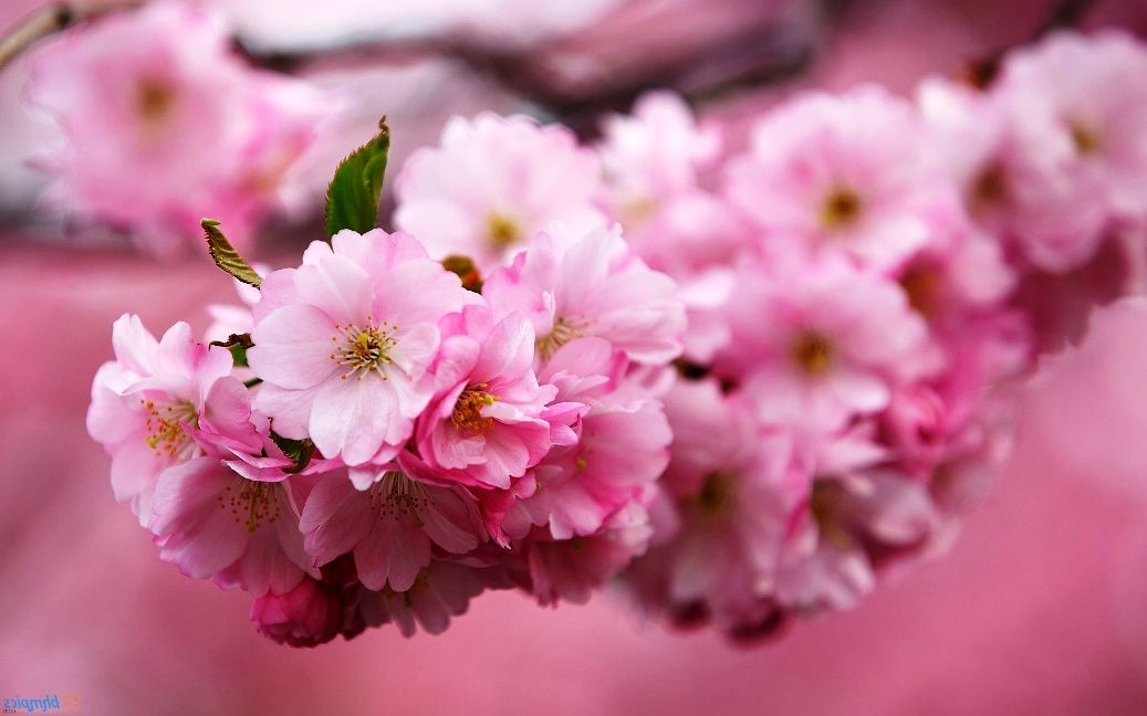 Gambar Bunga Sakura Saat Musim Semi Dandelion Allah Dandelions