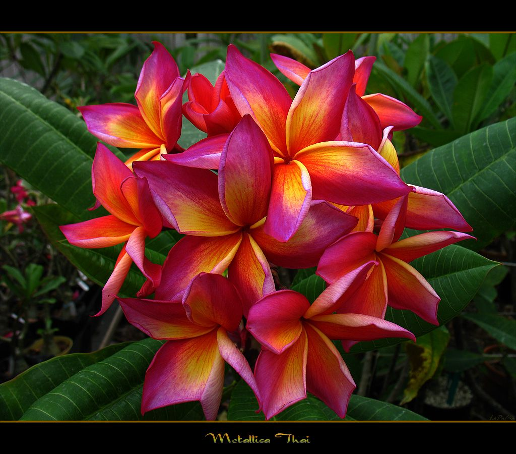 Rare flowers rare flowers the plumeria metallica thai a rare flowers rare flowers the plumeria metallica thai a photo on flickriver dhlflorist Images