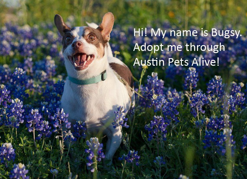 Super Cute From Austin Pets Alive Http Www Austinpetsalive Org Adopt Available Dog Details Id 14062105 Pets Pet Adoption Adoption
