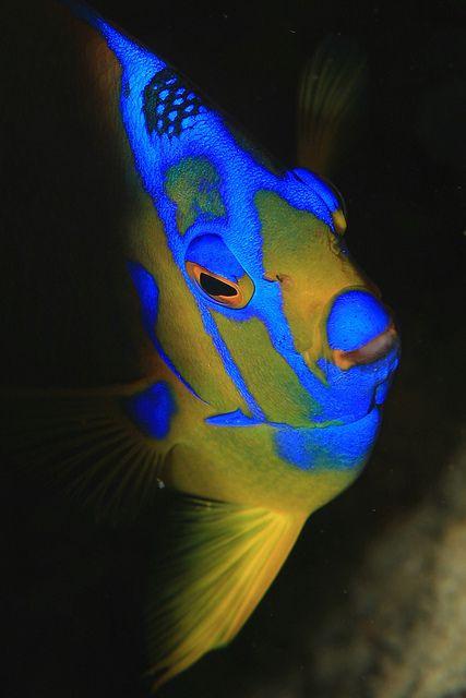 "Shy Queen Angelfish ""From the Shadows"" - ©/cc Laszlo Ilyes - www.flickr.com/photos/laszlo-photo/8369871709/in/set-72057594059084229#"
