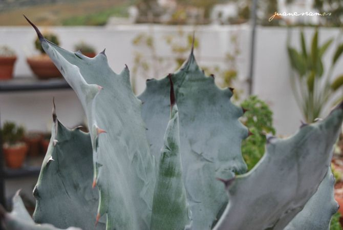 Agave potaterum - Febrero 2014