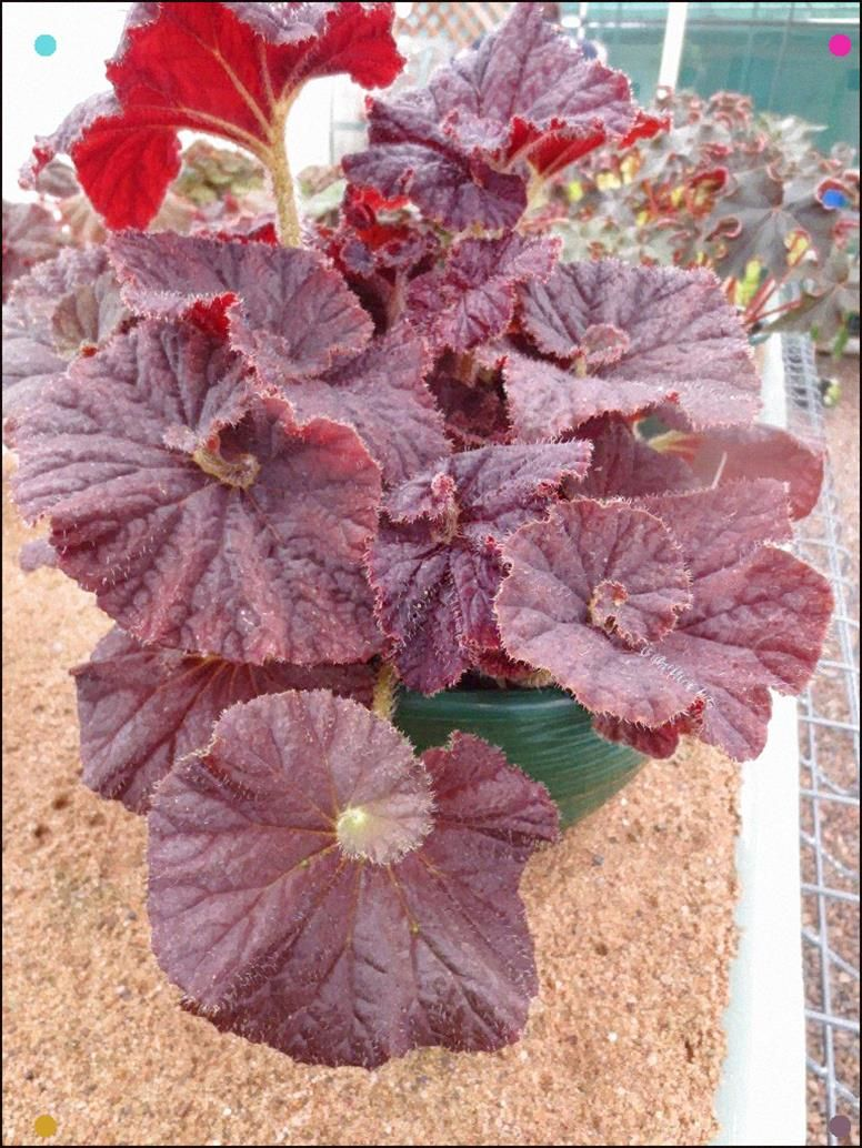 Begonia Red Rooster The Leaves Of A Begonia Rex Areas Pretty As