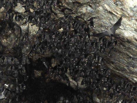 עשרות, מאות ואלפים של עטלפים גרים כאן. מערת התאומים (צילום: איל שפירא)