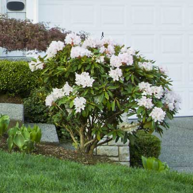 Rare Rhododendron Blooms All Spring Nothing Compliments Your Home More Than White It Provides A Rich Feel An Flowering Shrubs Spring Garden Garden Shrubs