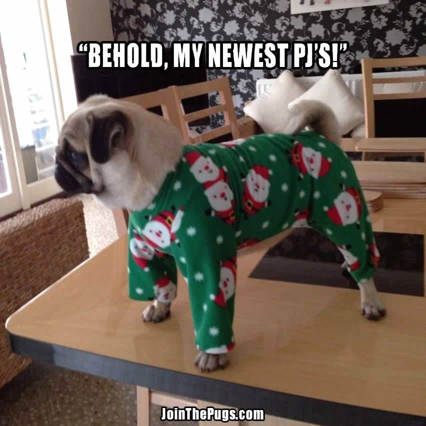Behond, my newest PJs! ~ pug in Santa jammies for Christmas | photo from Lynn English via JoinThePugs.com