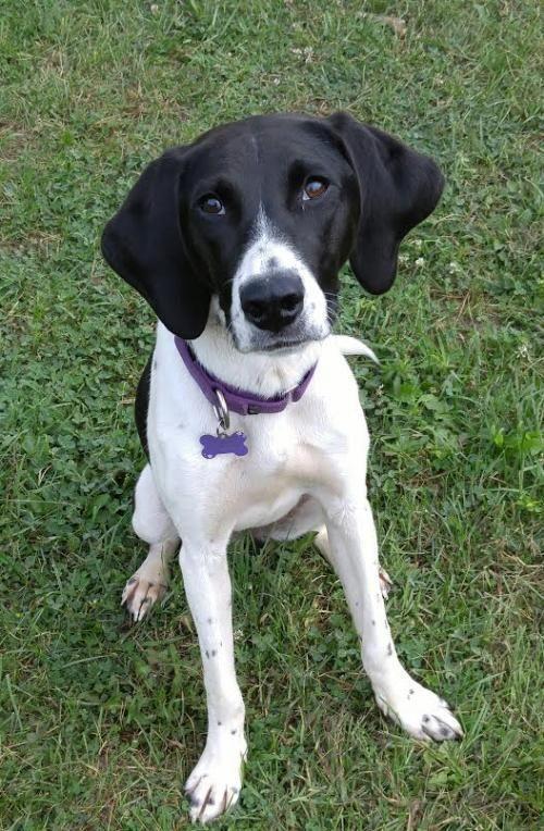 Meet Sookie, a Petfinder adoptable Hound Dog Livonia, MI