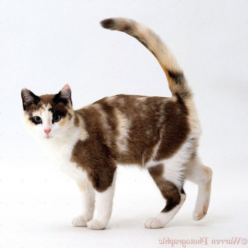 Calico Cat With Interesting Gps >> Wp15489 Chocolate Tortoiseshell And White Cat Cookie 5 Months Old