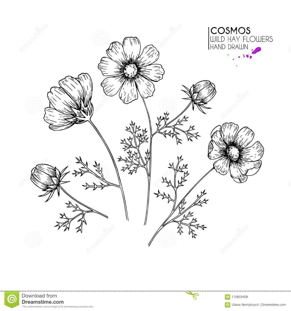 Hand Drawn Wild Hay Flowers Cosmos Or Cosmea Flower Vintage Engraved Art Botanical Illustrati Flower Line Drawings Floral Tattoo Sleeve Birth Flower Tattoos