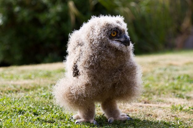 Community Post: 50 Fluffy Owl Chicks That Require Your Attention