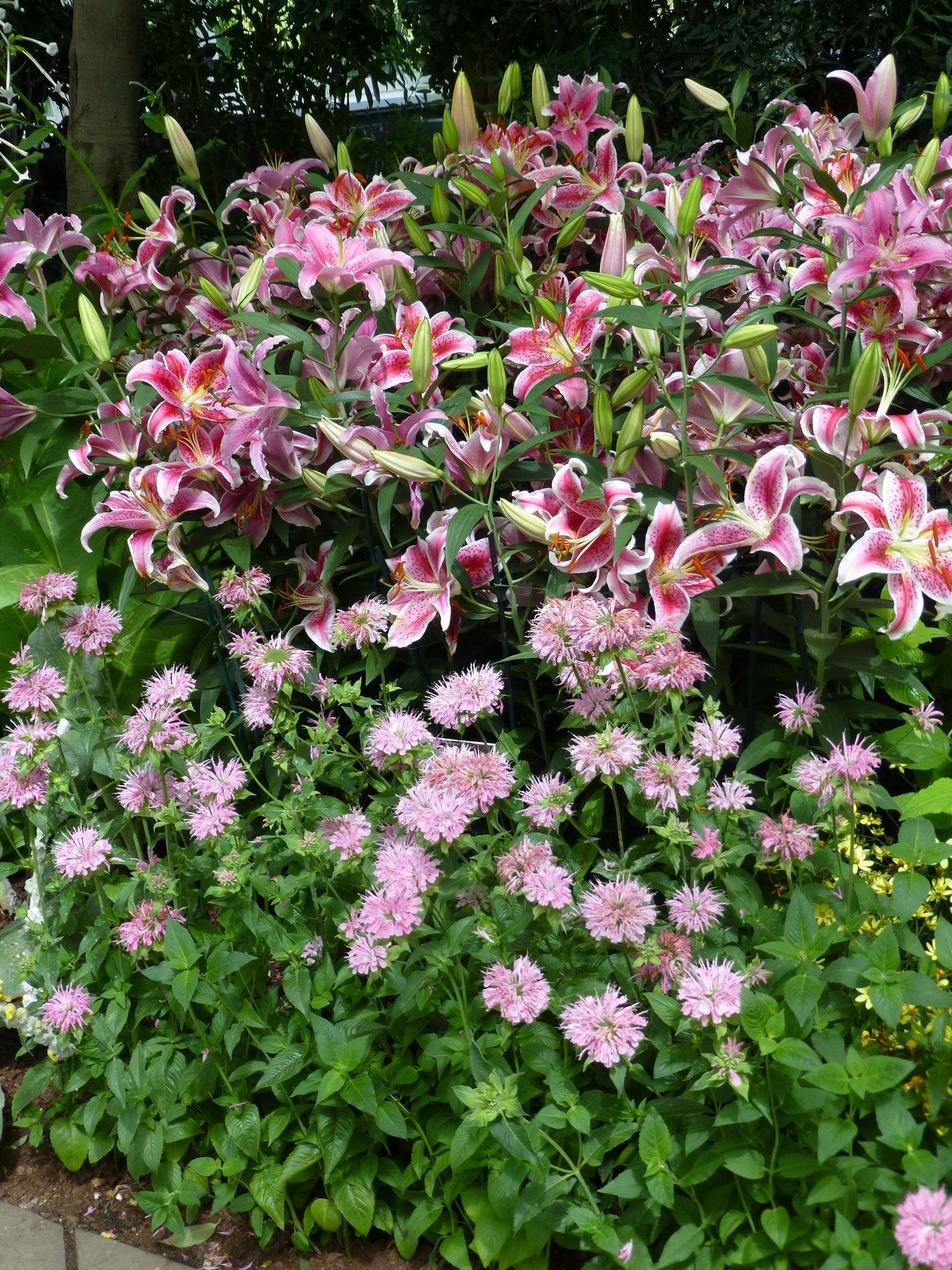 https://flic.kr/p/FncZo3 | Star Gaze Lilies and Monarda [Bee Balm]  P1040518