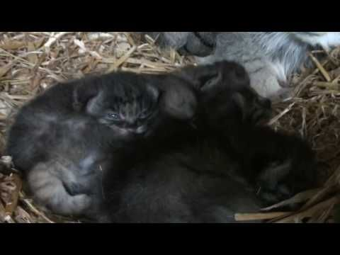 Pallas Cat Kittens 3 Weeks Old Pallas S Cat Cats And Kittens Small Wild Cats