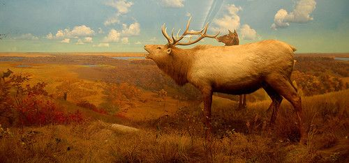 Buck Diorama by Curious Expeditions At the Bell Museum of Natural History in Minneapolis, MN.