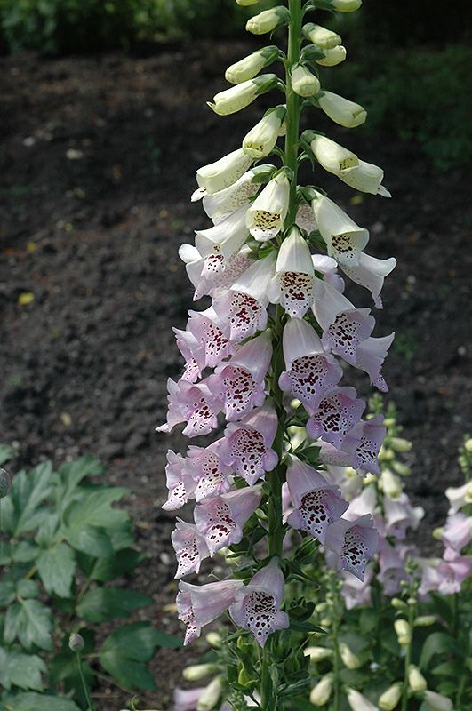 Camelot Lavender Foxglove (Digitalis purpurea 'Camelot Lavender') at Allisonville Nursery