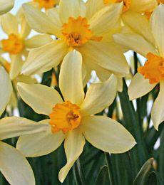 Narcissus Stella Whiteflowerfarm Daffodils Daffodils