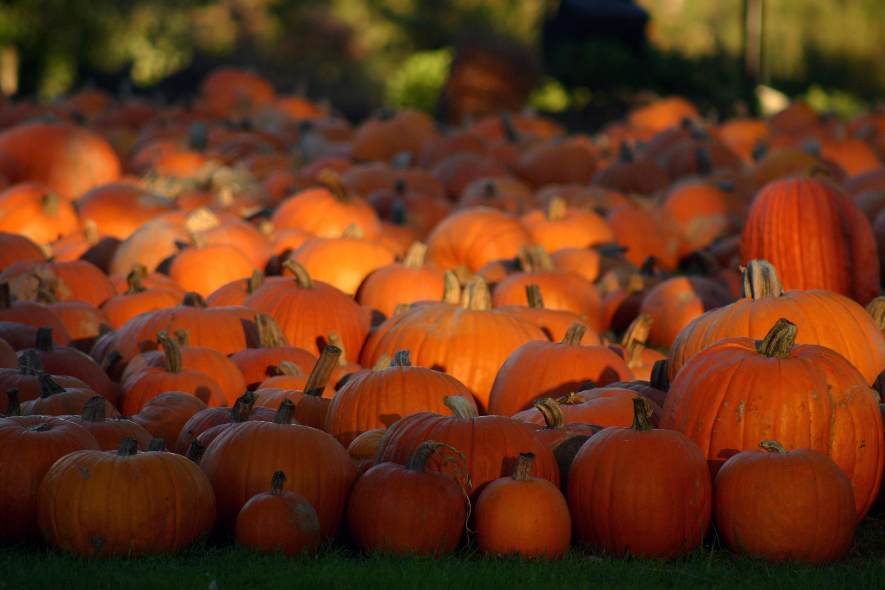 Pumpkins Halloween Pumpkin Patch Wallpaper MAROONBEARD
