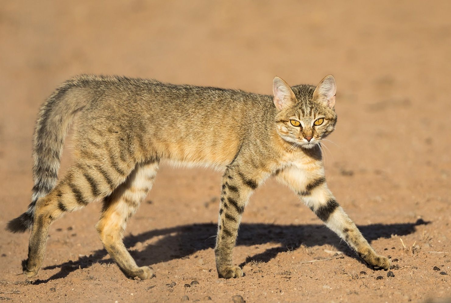 An African Wild Cat Felis Lybica In Kgalagadi Transfrontier Park