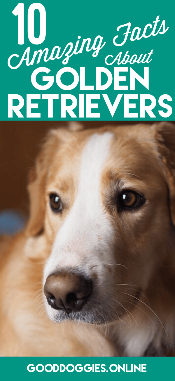 10 Amazingly Interesting Golden Retriever Facts You Should Know