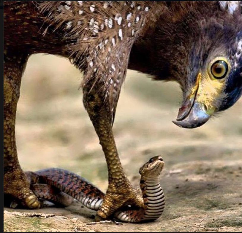 An eagle does not fight a snake on the ground. It picks it