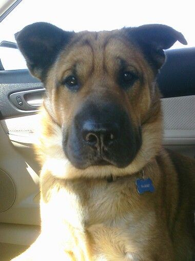 Shar Pei German Shepard Mix I Have One A Rescue Of Course And