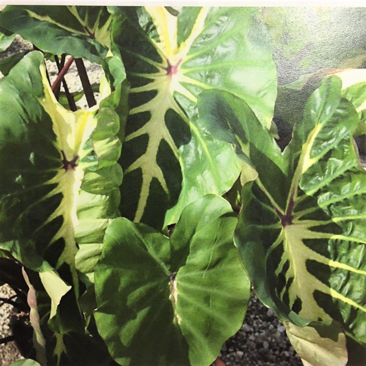 Black Magic Elephant Ear Bulbs Perennial Colocasia Tropical Rare Plant Easy Care