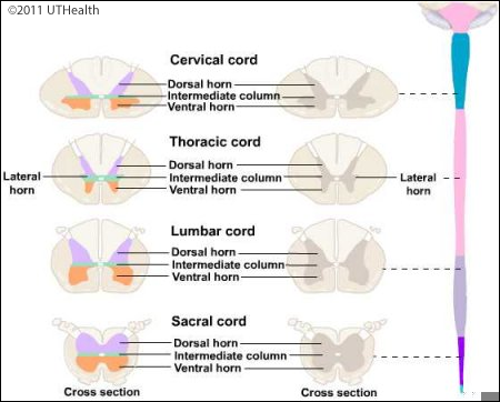 Microscopic Sections of Spinal Cord - Introduction   Review   Pinterest