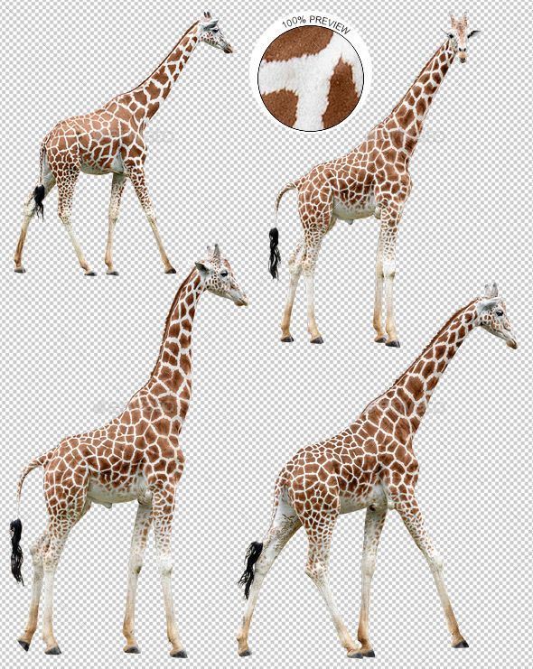 Collection of Giraffes in Various Poses Giraffe, Nature
