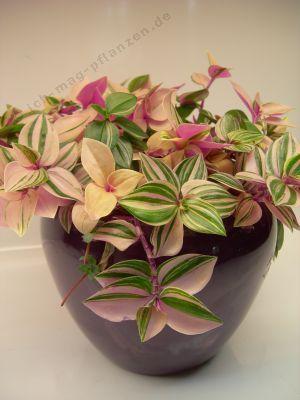 Calathea Bonsai Air Seeds Plants Freshening High Humidity To Rare Easy 100pcs