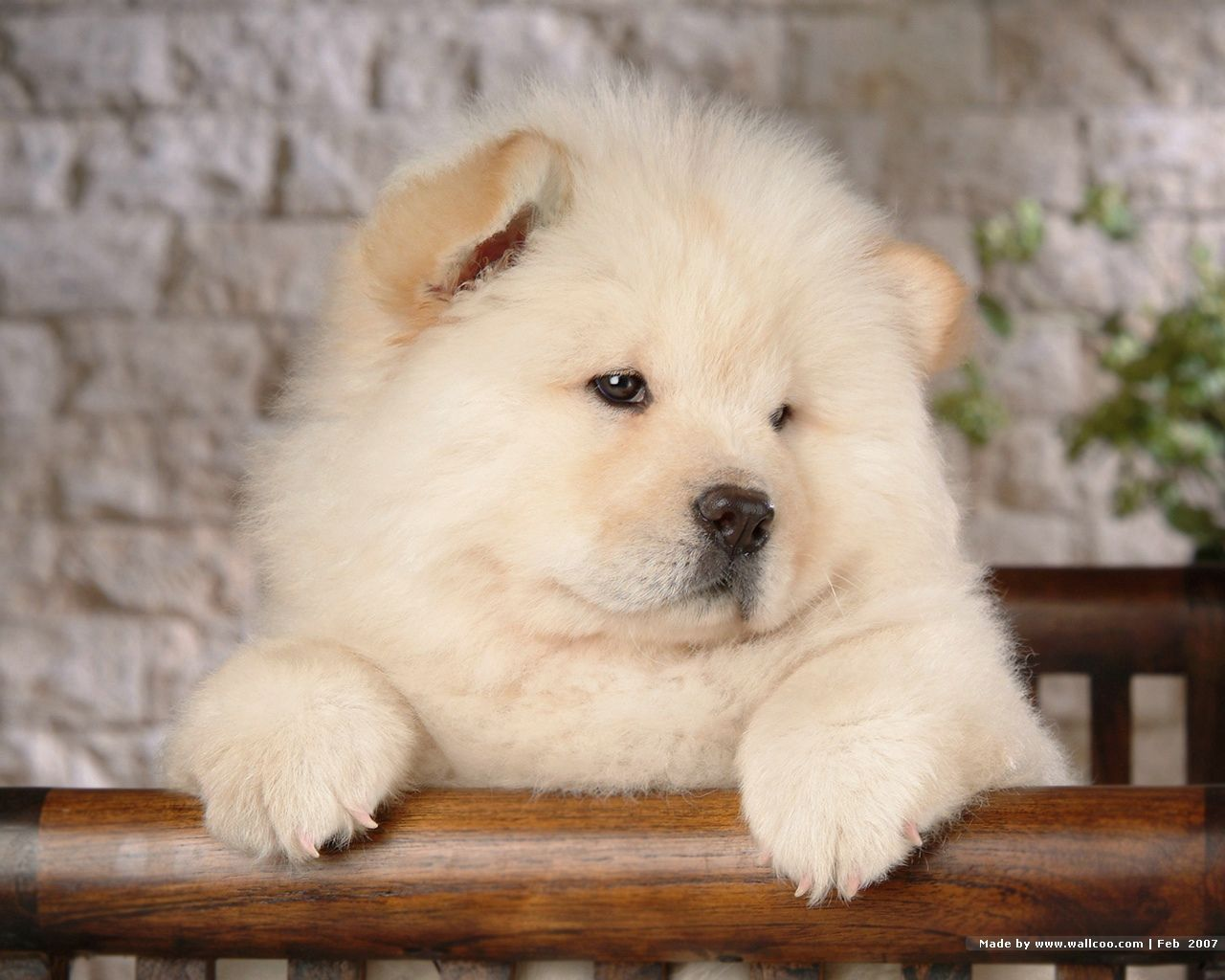 Chow Chow Dogs Just Love White Chows White Chow Chow Chow Chow