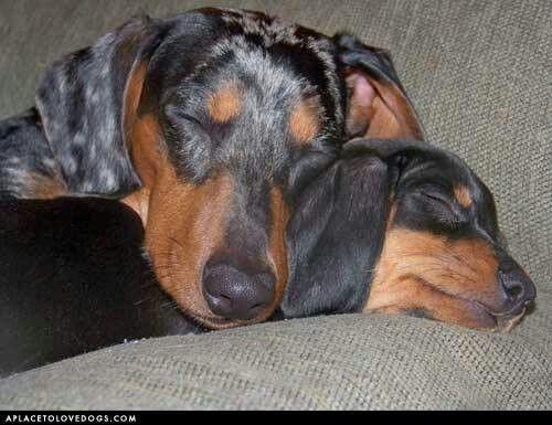 Gustav S Dachshund World And Friends Love Those Dachshunds Dog